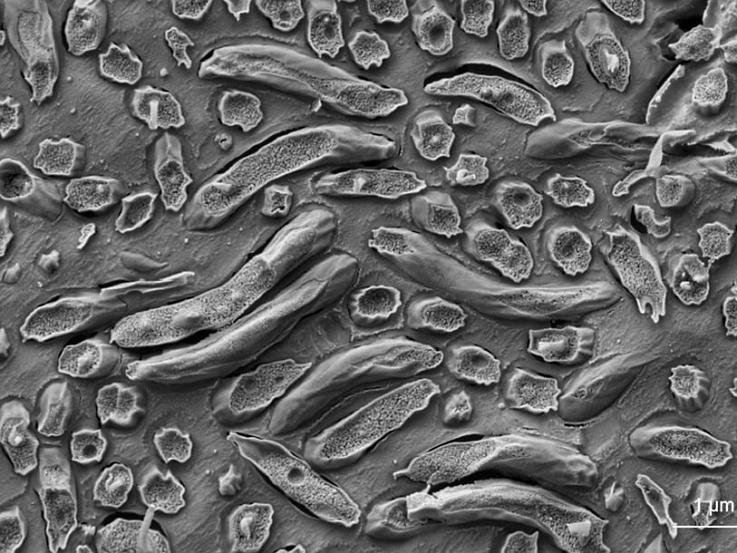 Искусственная эволюция помогла в создании магнитной бактерии
