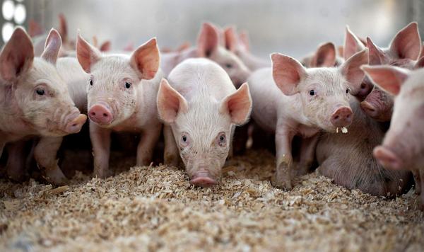 Импорт свиней в Россию под запретом