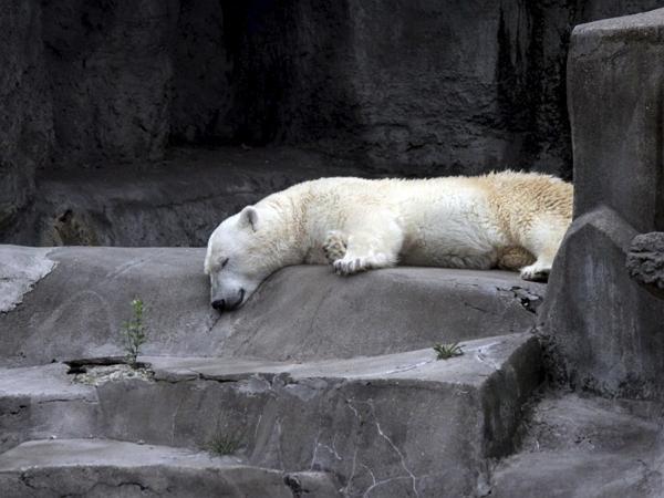 Самая старая белая медведица РФ скончалась