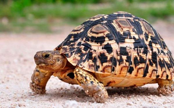 10 тысяч редких лучистых черепах погибали в неволе