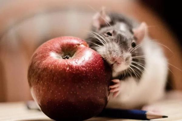 У крыс были найдены признаки человеческого сознания