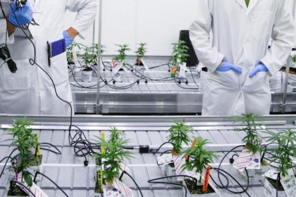 Канадским студентам разрешили выращивать марихуану