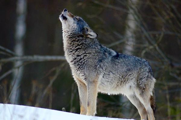 В контактном зоопарке волк укусил ребенка