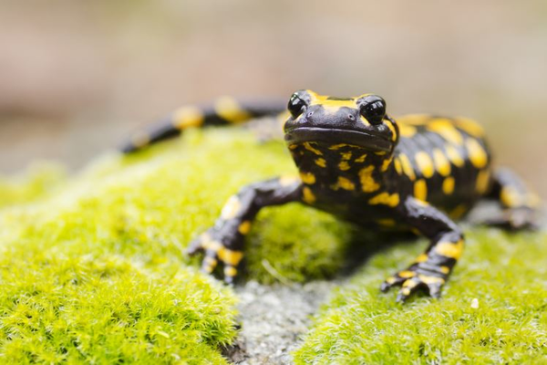 Ученые нашли необычное растение, поедающее саламандр