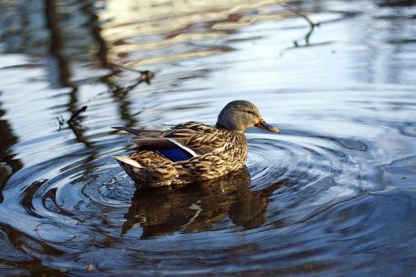 Жителей столицы предупредили об опасности купания в водоемах с утками