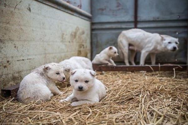 В Китае начался фестиваль собачьего мяса